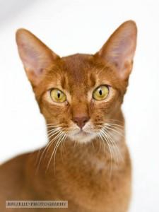 bruselid katt porträtt